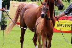 El Emeera AO Bronze Medal Champion filly